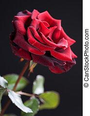 아름다운, 장미, 위의, 까만 빨강