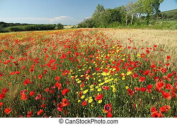 아름다움, 의, tuscan, 시골