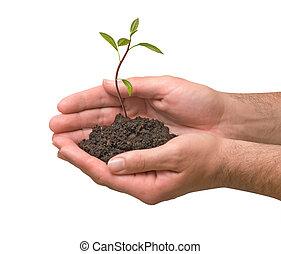 아보카도, 나무, seedling in hands, 가령...와 같은, a, 상징, 의, 자연, 보호