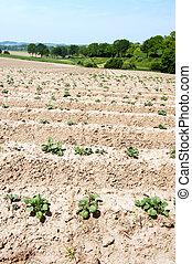 아스파라거스, 농업