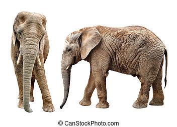 아프리카의 코끼리