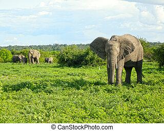 아프리카의 코끼리, 에서, 부시, 대초원, 보츠와나, 아프리카.