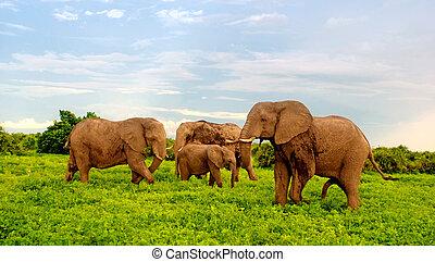 아프리카의 코끼리, 에서, 부시, savannah., 보츠와나, 아프리카.