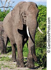 아프리카 코끼리, 에서, 야생의, savanna(national, 공원, chobe, botswana)
