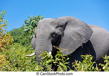 아프리카 코끼리, 에서, chobe, 보츠와나, 원정 여행, 야생 생물