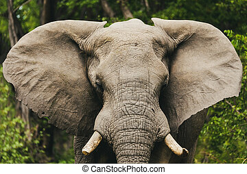 아프리카 코끼리, 에서, moremi, 보츠와나, 원정 여행, 야생 생물
