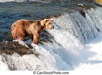알래스카다, 갈색의, 연어, 어업, 곰