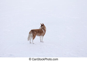 알래스카다, 개, 통하고 있는, 어는 호수