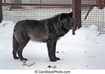 알래스카다, 늑대