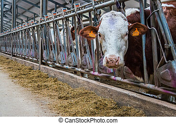 암소, 농장, 생성