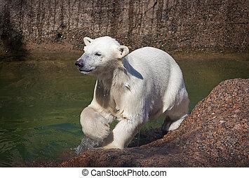 야수의 새끼, 북극 곰