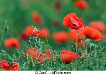 양귀비, 들판, 와, 제비, 의, 아름다운, 빨간 꽃
