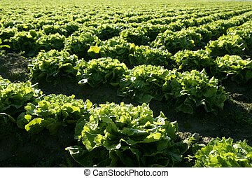 양상추, 들판, 에서, spain., 녹색, 식물, 원근법
