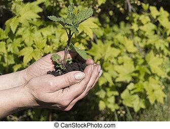 어린 식물, 에서, 여성, hands., 그만큼, 개념, 의, 새로운 삶