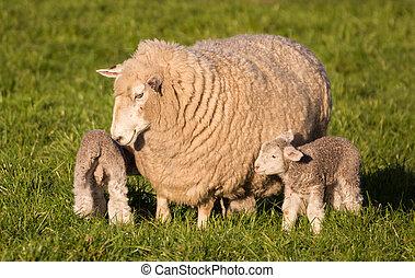 어머니, sheep