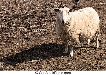 어머니, sheep, 에서, 봄