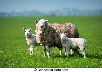 어머니, sheep, 와..., 그녀, 새끼 양, 에서, 봄
