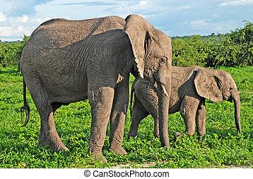 엄마와 아기, 아프리카의 코끼리, botswana.