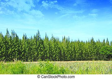 여름, 소나무, 숲, 통하고 있는, 하늘, 배경