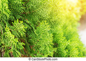 여름, 자연, 잎, 위로의, 소나무, 녹색의 배경, 끝내다