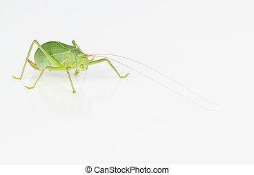 여성, 녹색, katydid