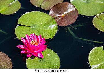 연못, 심홍색, lilly의