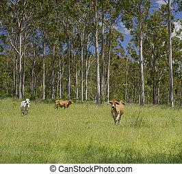 오스트레일리아 사람, 시골