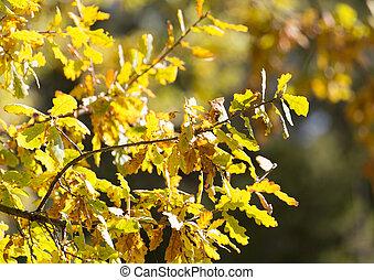 오크 잎, 에서, 자연