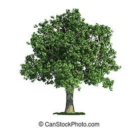 오크, (quercus), 나무, 고립된, 백색