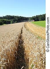 옥수수 들판
