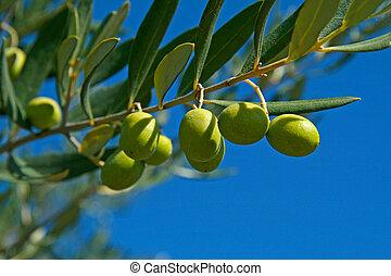 올리브나무의 가지, 녹색
