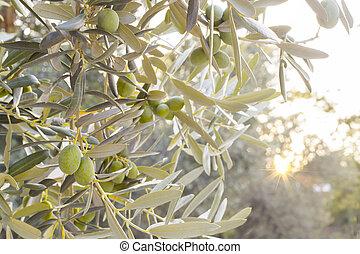 올리브나무의 가지, 조반겸 점심, 나무