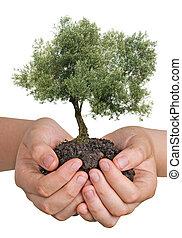 올리브 나무, 에서, 손, 가령...와 같은, a, 선물