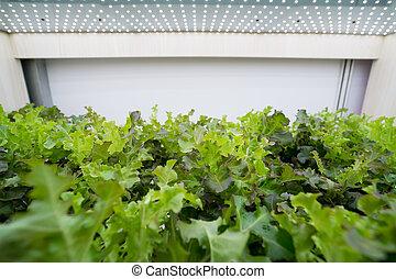 유기체의, hydroponic, 야채, 생장하다, 옥내의, 농장, 농업, 기술