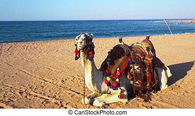 이집트, mers, 코로나, 낙타, 관광 여행, 위험, 바이러스