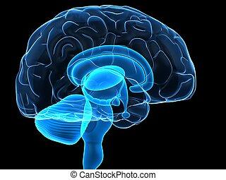 인간 두뇌, 은 분해한다
