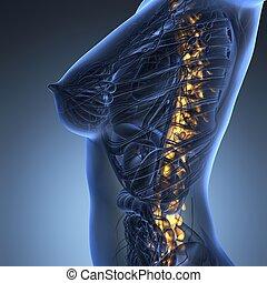 인간, backache, 와..., 요통, 와, 자형의 것, 더 위의, 몸통, 몸, 해골, 전시, 그만큼, 등뼈, 와..., 척추 란