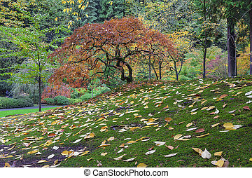 일본 단풍나무 나무, 동안에, 가을철