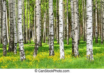 자작나무 나무
