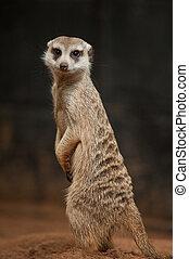 작다, meerkat, 또는, suricate, (suricata, suricatta)