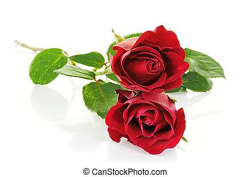 장미, 백색, 고립된, 빨강