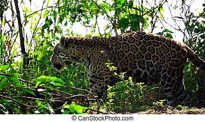 재규어, 뿌리는 것, 기호에, 그것의, 영토, 에서, pantanal, wetlands