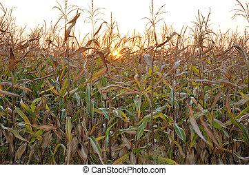 저녁 태양, 남아서, 옥수수 들판