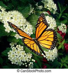 제왕 나비, 통하고 있는, 꽃