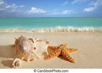 조개, 불가사리, 열대적인, 모래, 청록색의, 캐러비안