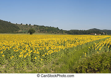조경술을 써서 녹화하다, 와, 해바라기, 에서, tuscany, (siena)