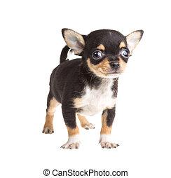 짧다, 털이 있는, chihuahua, 배경, 정면, 백색, 강아지