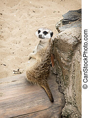 초상, 의, a, meerkat, (suricata, suricatta)