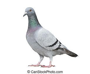 초상, 정식적인 사람, 의, 회색, 색, 의, 속력, 경주, 비둘기, 새, 고립된, 백색 배경