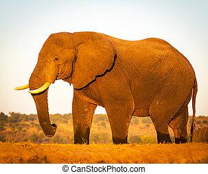 코끼리, 원정 여행에